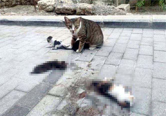 Otomobil 3 Yavru Kediyi Ezdi, Anne Yanlarından Ayrılmadı