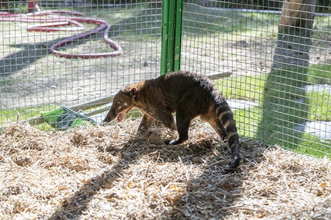 Tarsus Hayvan Parkı'nın Yeni Misafirleri:Alpaka ve Koati