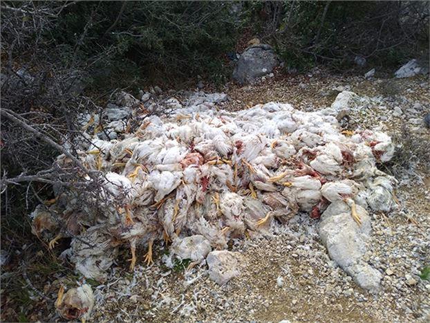 Yüzlerce Ölü Tavuğu Doğaya Attılar