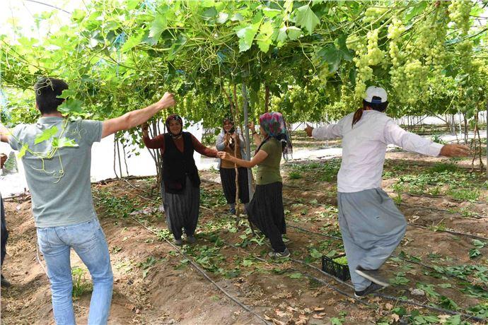 Tarsus'ta Erken üzüm hasadına göbekli kutlama