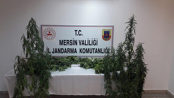Tarsus'ta 251 Kök Kenevir Bitkisi Ele Geçirildi
