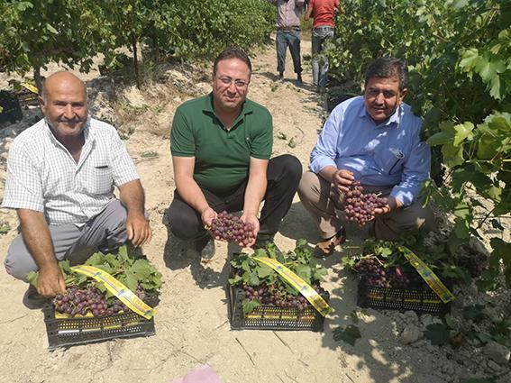 Türkiye'de İlk Üzüm Hasadı Tarsus'ta Başladı
