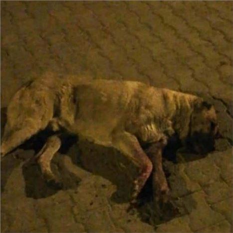 Sokak Köpeğini Öldüresiye  Dövüp Gözlerini Oydular